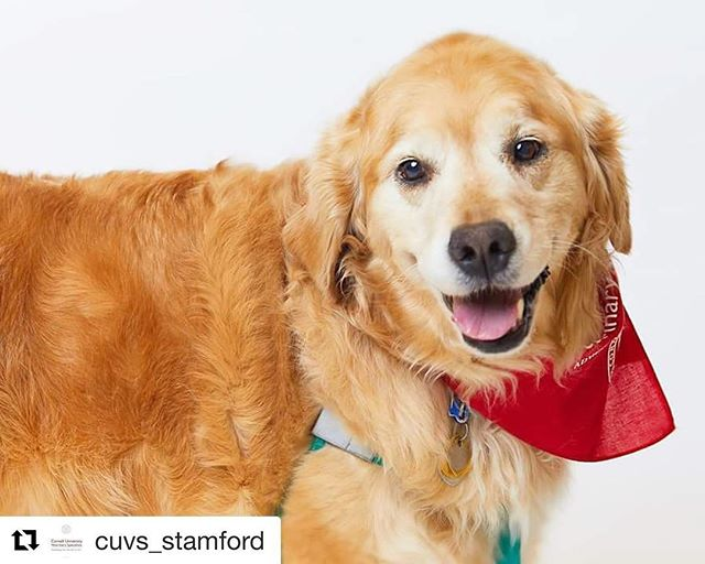 #Repost @cuvs_stamford ・・・ Beautiful Maggie just celebrated her 10th birthday! She is another one of our 2018 Courageous Companions and has quite the medical history. She was initially referred to our Internal Medicine and Dermatology services for extensive systemic and skin related issues. Once these were controlled, she then saw our Sports Medicine and Rehabilitation specialist to address significant mobility problems which were impacting her quality of life. Happy birthday, Maggie!  Thanks to @bopreyphoto for all of our great Courageous Companion photos! #courageouscompanions #happybirthday #pets #dogs #goldenretrievers #veterinarymedicine #veterinaryhospital #cuvs #cornelluniversityveterinaryspecialists #stamford #stamfordct / #bopreyphoto #vetlove #goldensofinstagram #maggie #seniordog