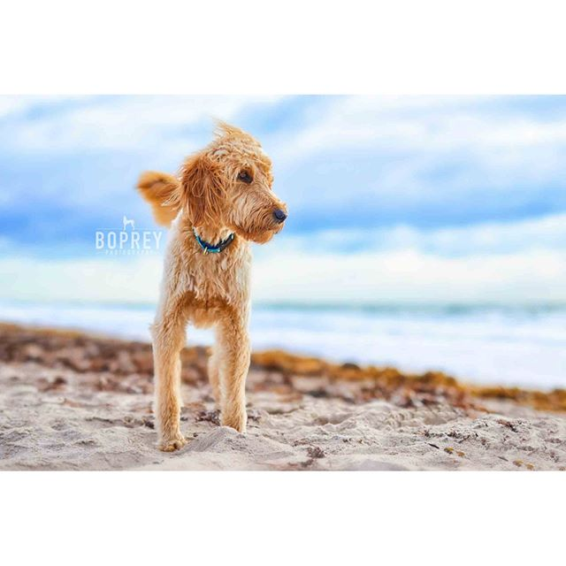Look forward to the #future and be #grateful for the past. 🐕🌊 #petphotography #dogphotography #petsofinsta #goldendoodle #doodle #beach #nyc #verobeach