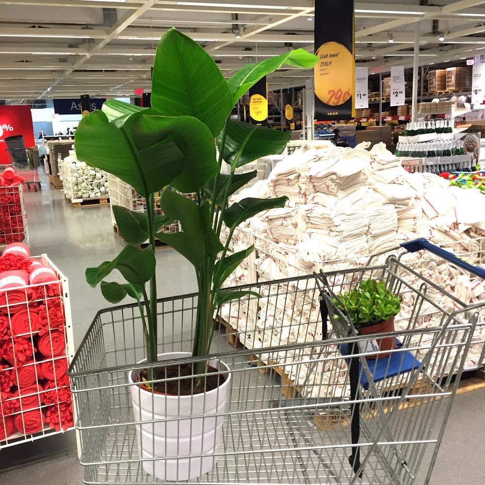IKEAplant