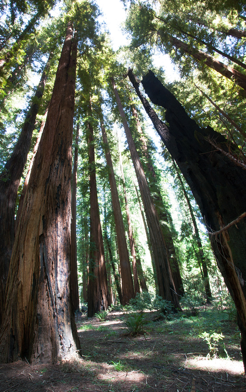 A80_Pacific_Coast_2006-Redwoods_Panorama_C20_3413-180.jpg