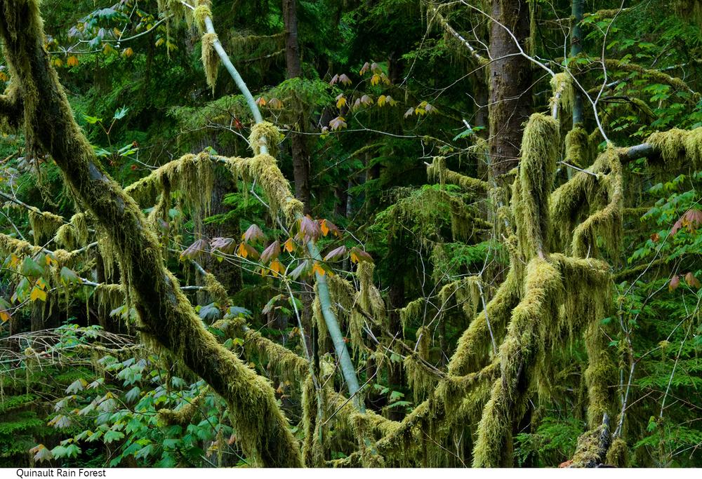 Quinault_Rain_Forest_C40_080308_006 copy.jpg