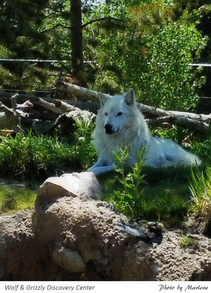 390-mts-160614-31_Wolf-Akela.jpg