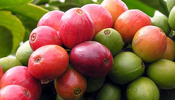 Coffee cherries on the tree ripen at different rates, turning from green to red in the process.