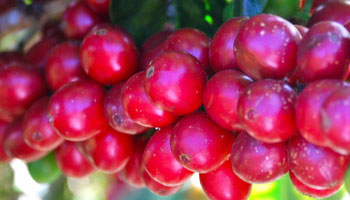 Ripe, red coffee cherries on the tree. This is the Villa Sarchi varietal.
