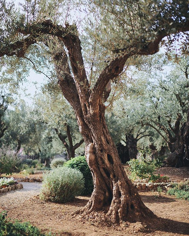 Spending time alone in the Garden of Gethsemane right before closing time was one of the highlights of the trip. #vscocam