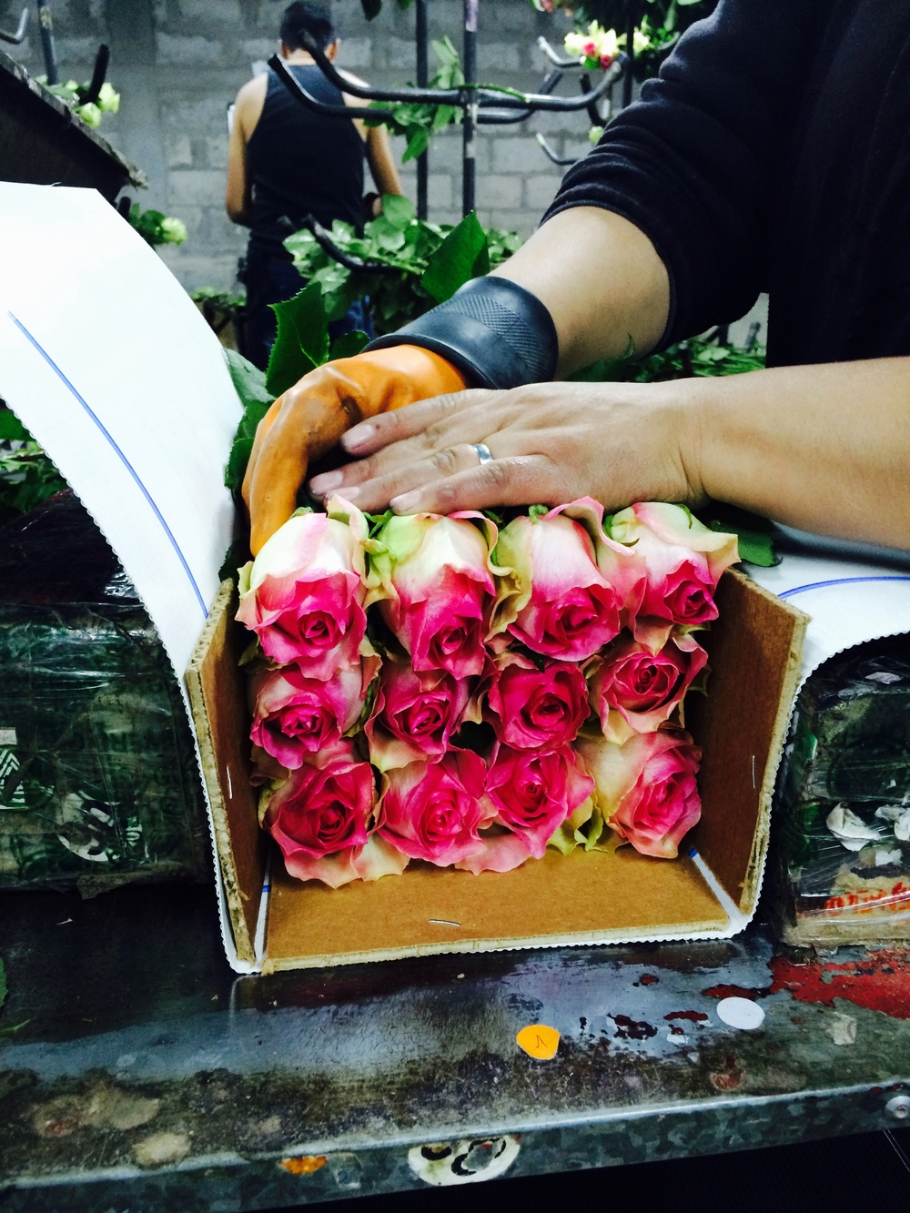 Hand Grading of Roses is not unusual at any farm in the world. The arrival condition ofthe rosesinto the hands of the consumer is where farms may distinguish themselves.