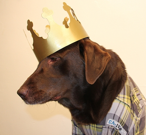 Chocolate-Labrador-Dog-King