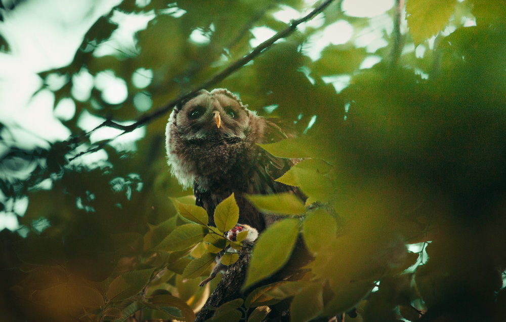 Barred Owlet eating in the trees.