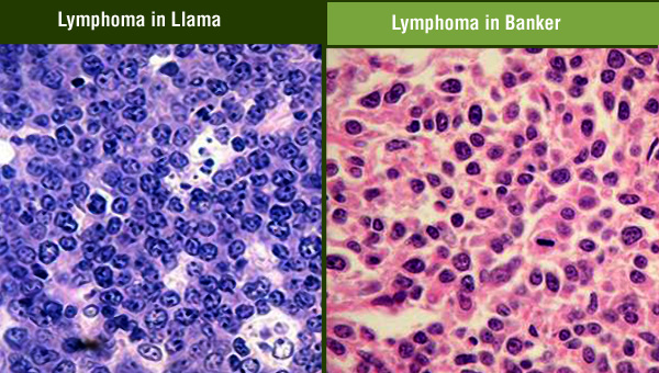 animal-human-panel-lymphoma.jpg