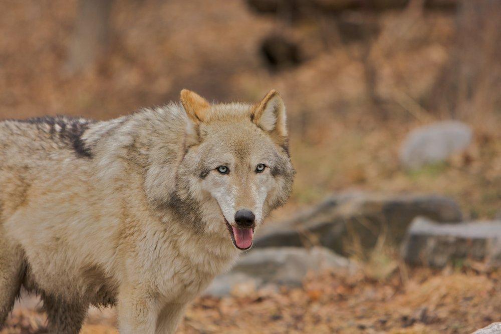 Wolves_020208_A3 of 134.jpg