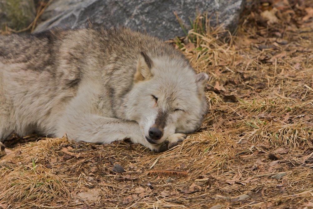 Wolves_020208_A41 of 134.jpg