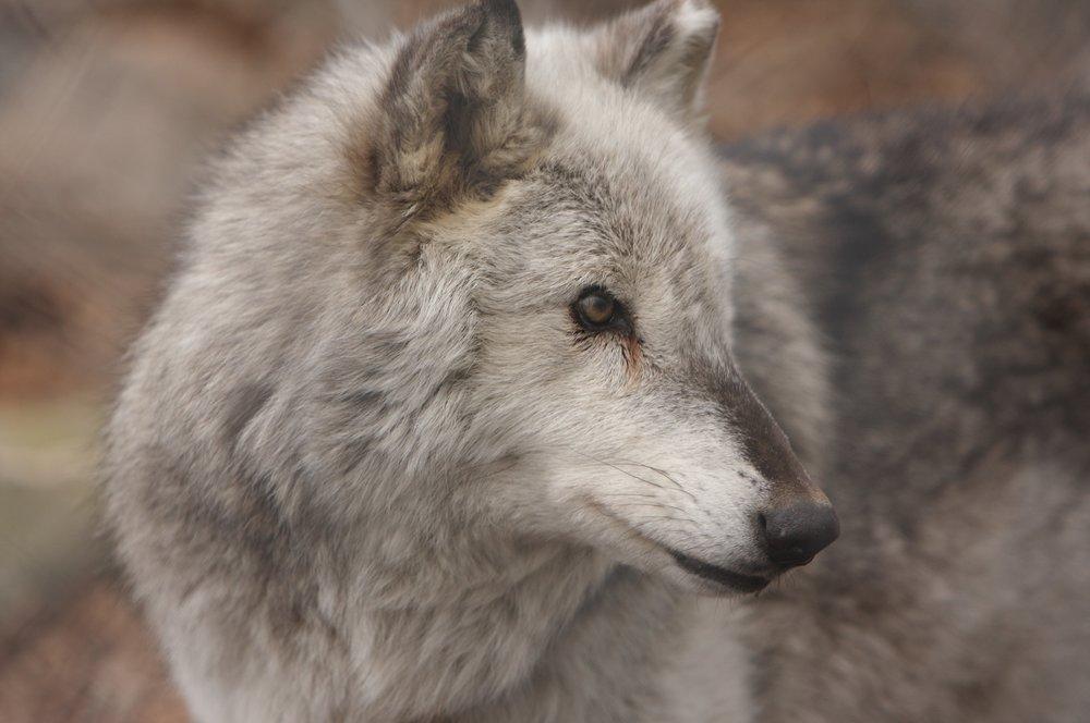 Wolves_0202087 of 114.jpg