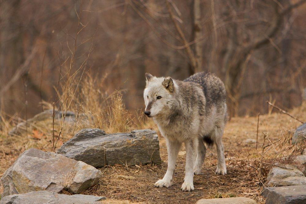 Wolves_0202083 of 114.jpg