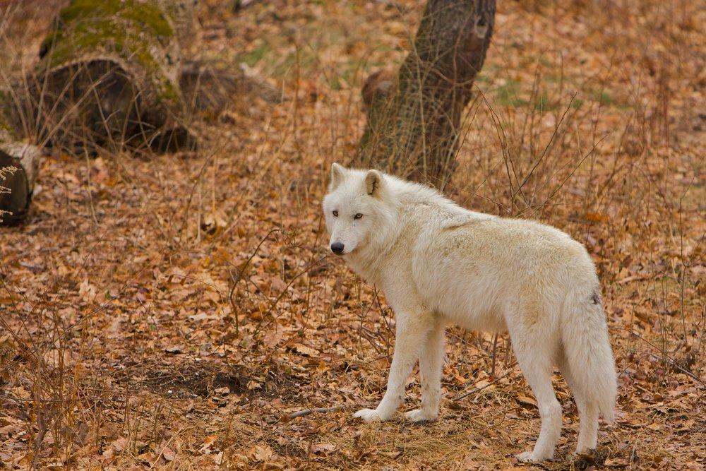 Wolves_02020816 of 114.jpg