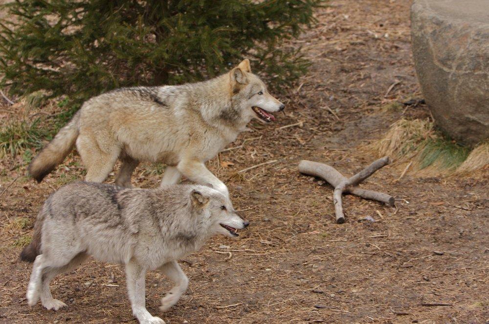 Wolves_02020890 of 114.jpg