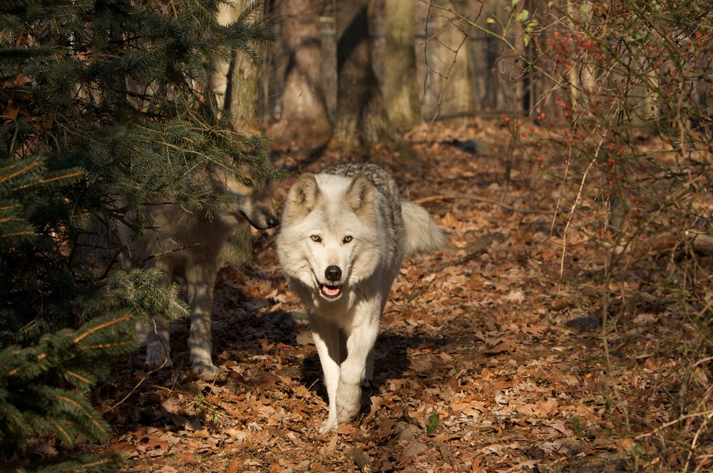 Lakota Wolves (9).jpg