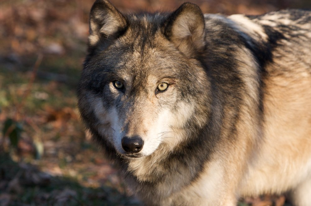 Lakota Wolves (10).jpg