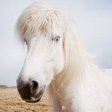 icelandic horse photography.jpg