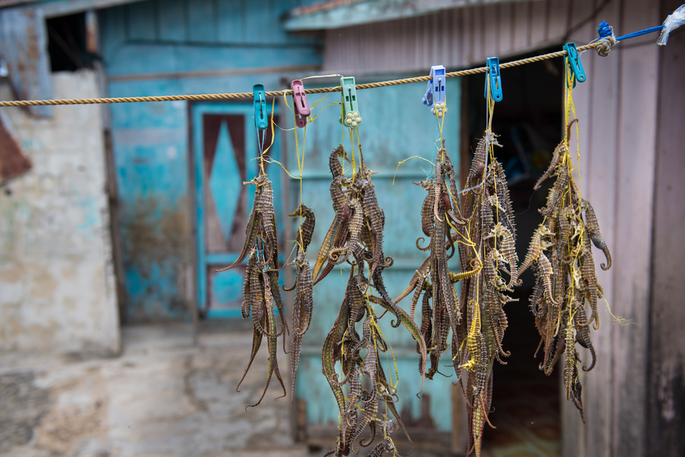 Seahorses drying in a Sama-Bajau village. These are harvested and sold as medicine for various reasons including being used as an aphrodisiac.