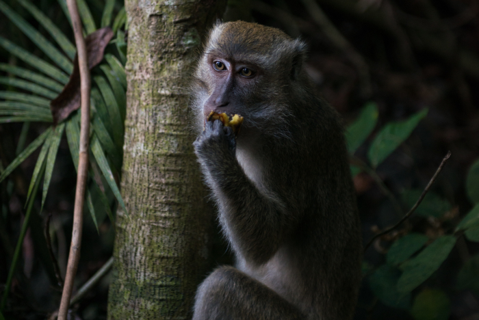 A Philippine Macaque eats a banana given to it by a passerby on the path up to Bud Bongo. Aside from being a sacred mountain, the 250 hectare Bud Bongao is a protected forest area. These macaques are often considered the guardians of the mountain.