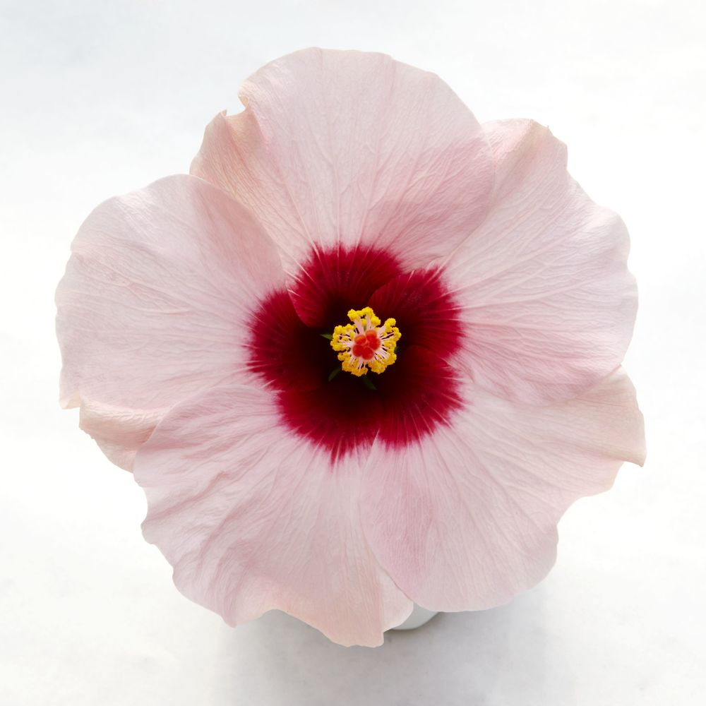 Adonicus Rosa