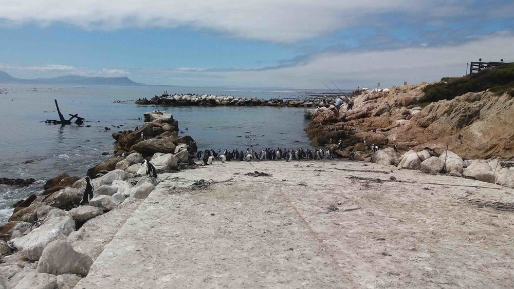 Penguins at Bettys Bay