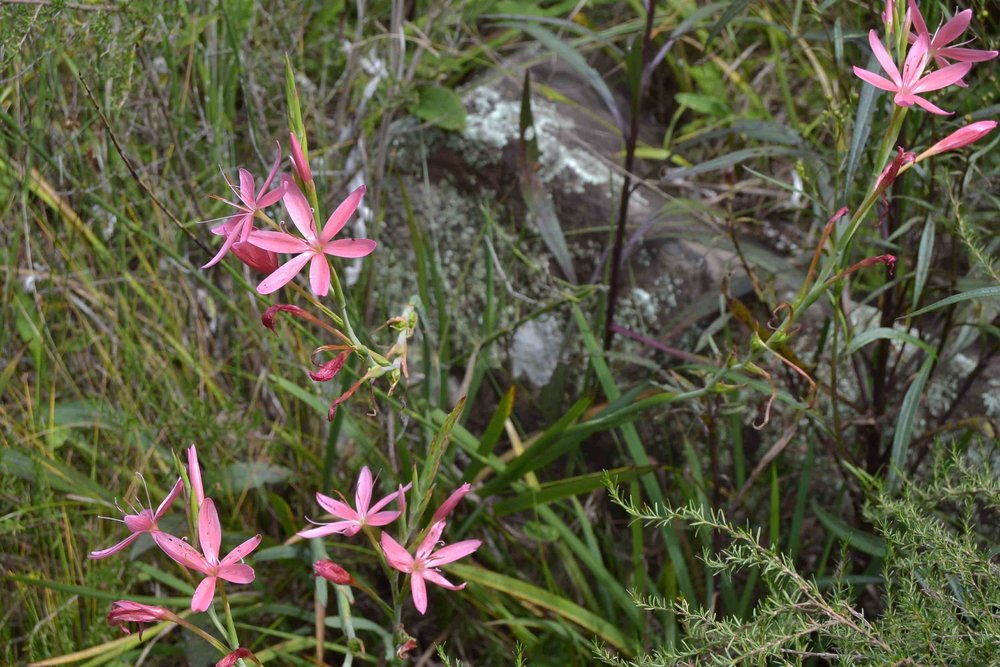 Hesperantha coccinea  - Pink Variety, normally Red Flowers