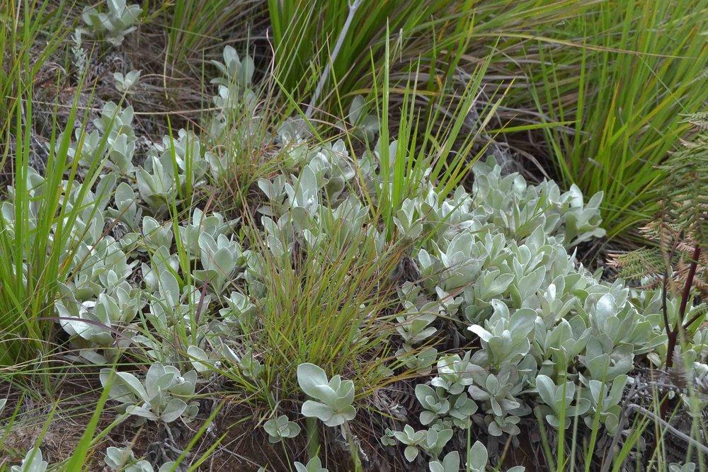Helichrysum acutatum