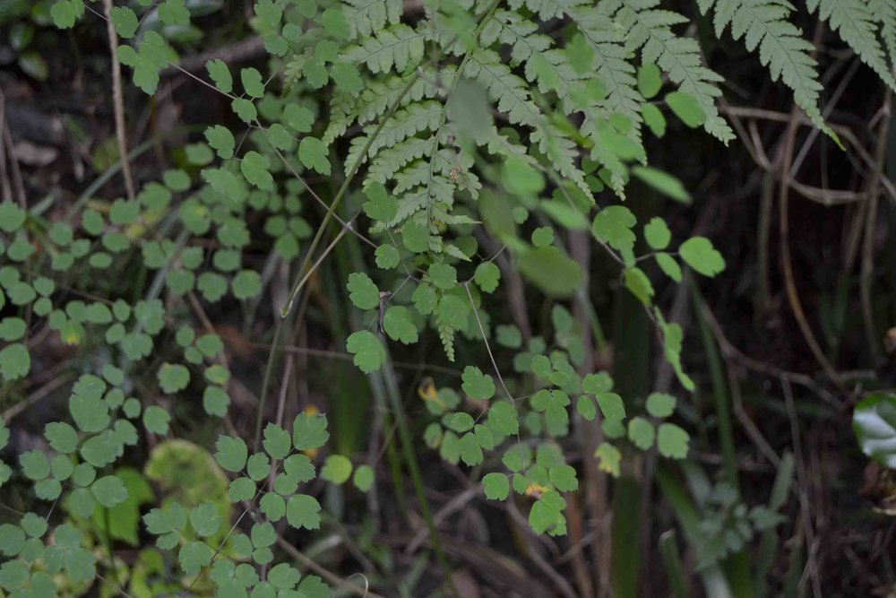 Thalictrum rhynchocarpum -  soft and delicate foliage for shady areas
