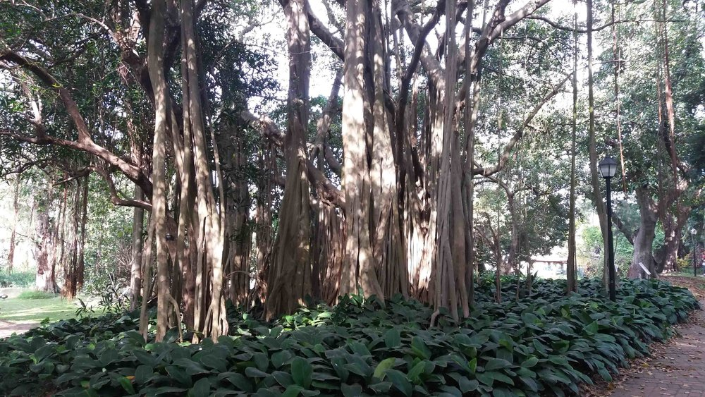 Ficus benghalensis - Banyan Trees, native to the Indian subcontinent, are often considered sacred and a symbol of long life, with temples often built beneath them.