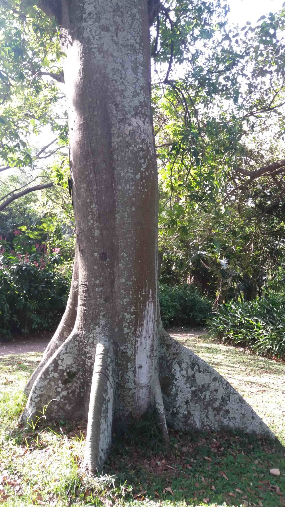 "Kapok Tree -  This ""Rocket Ship"" was planted in 1934 and is the national tree of Puerto Rico"