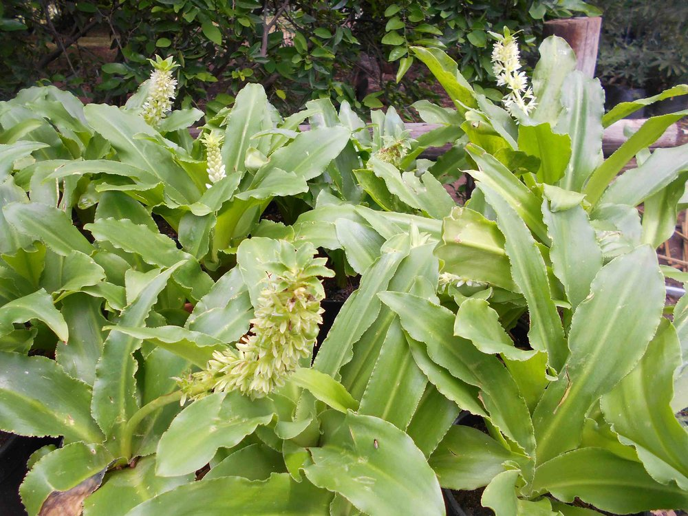 Eucomis zambeziaca - Pineapple Lily. There are several Eucomis species, such a rewarding Bulb!