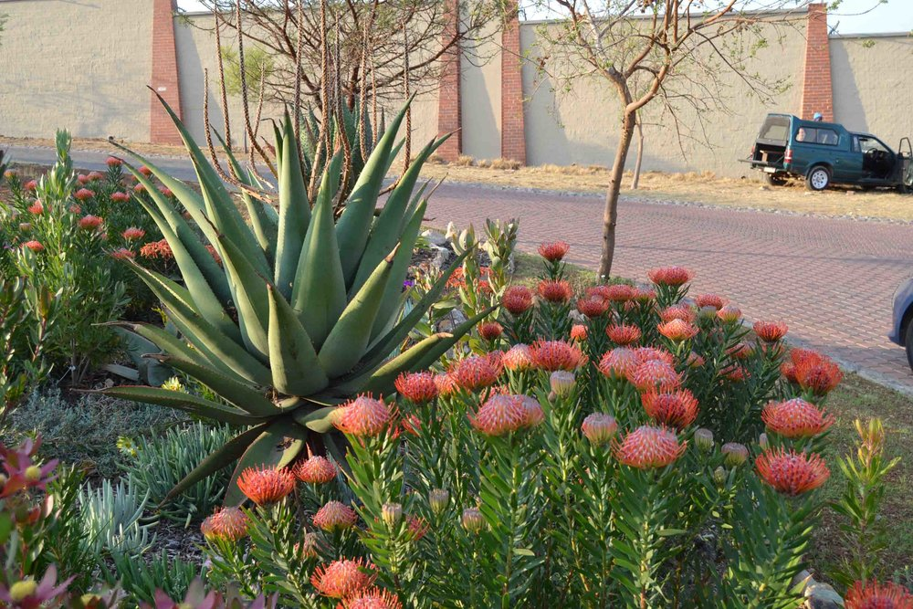 A Client's beautiful indigenous garden - combining Aloes with Fynbos plants like Leucodendron