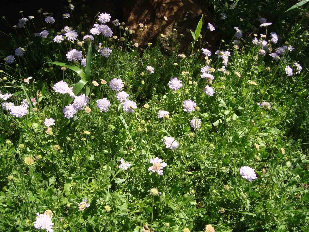 Scabiosa africana - those flower heads are like pincushions once the flowers die down
