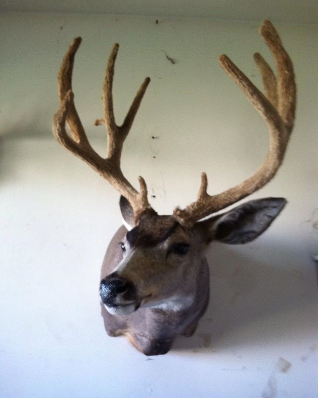 #deer #hunting #taxidermy #muley Colorado muley in velvet