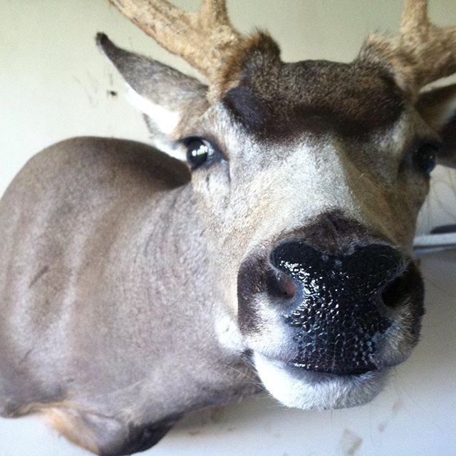 #taxidermy #hunting #deer #muley