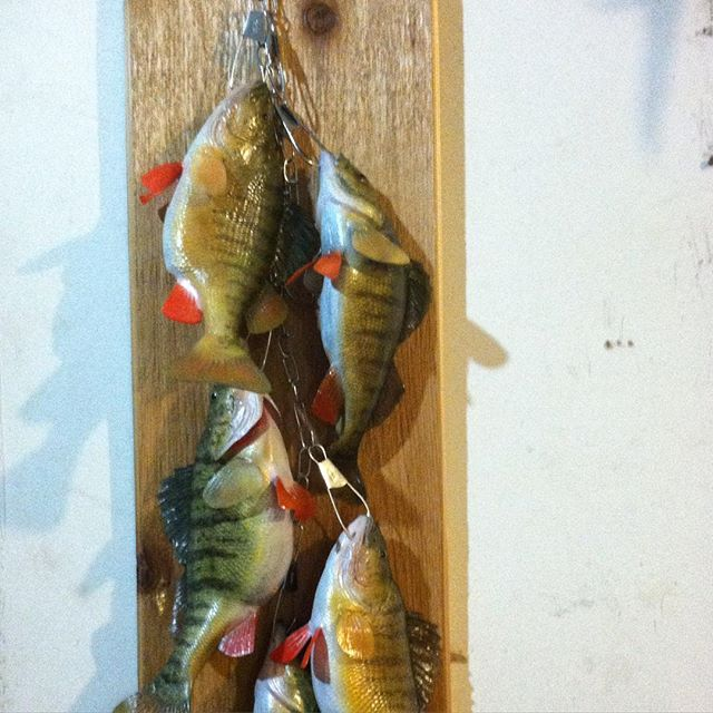 Taxidermy#ohio #fishing #perch#
