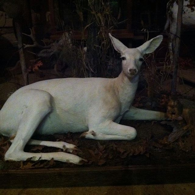 White doe#hunting #taxidermy #deer #