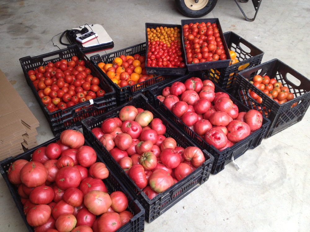 Typical daily tomato harvest. I miss all those tomatoes.