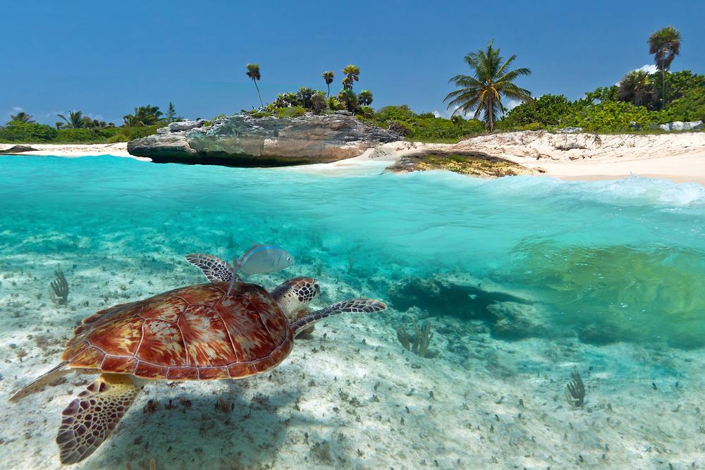 Tortuga Caribe pic.jpg