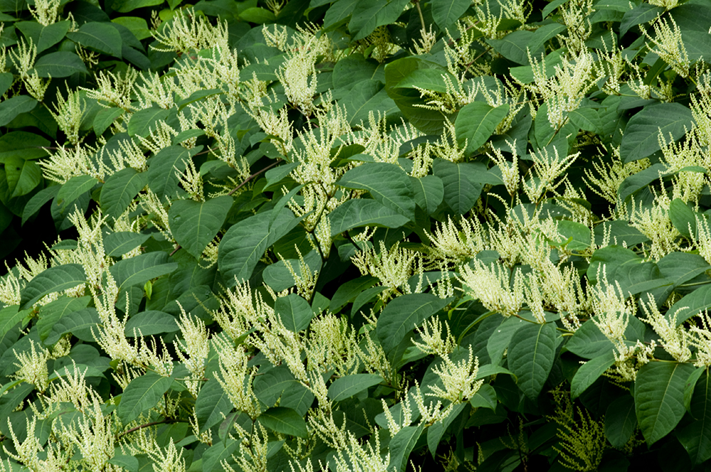 japanese knotweed flower2.jpg