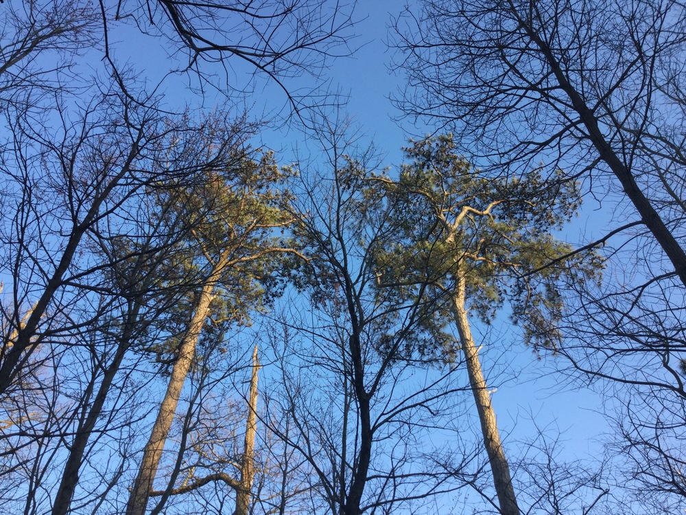 trees, looking up.jpg