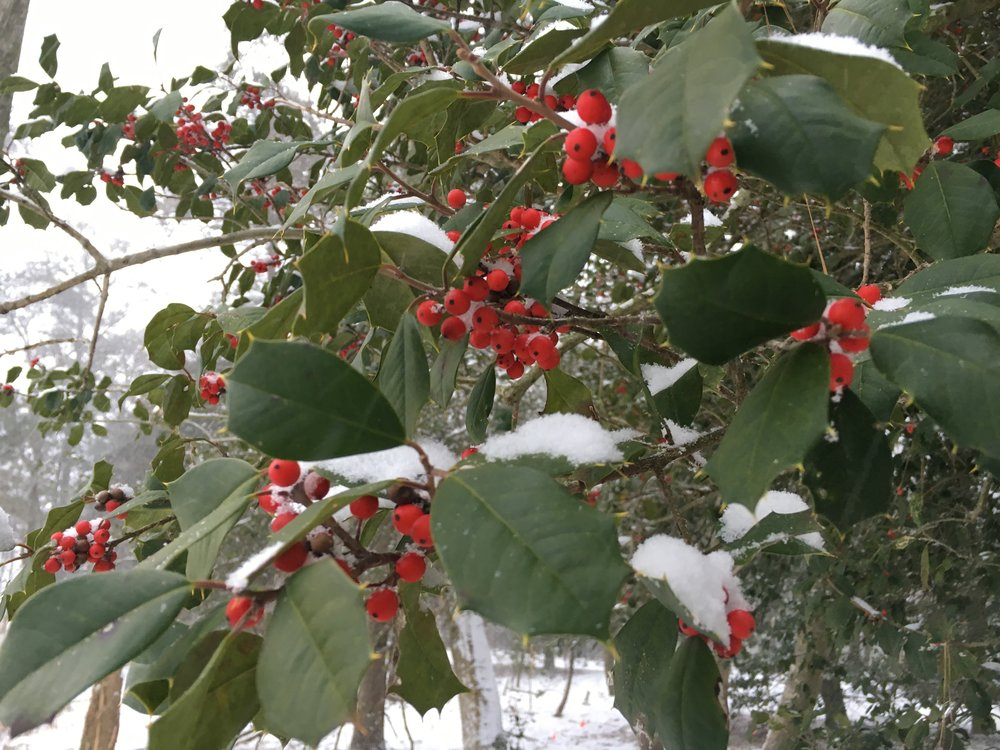 Holly, full, in snow.jpg