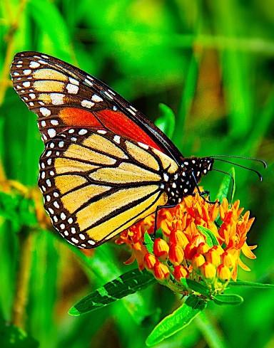 pollinator-butterfly-1.jpg