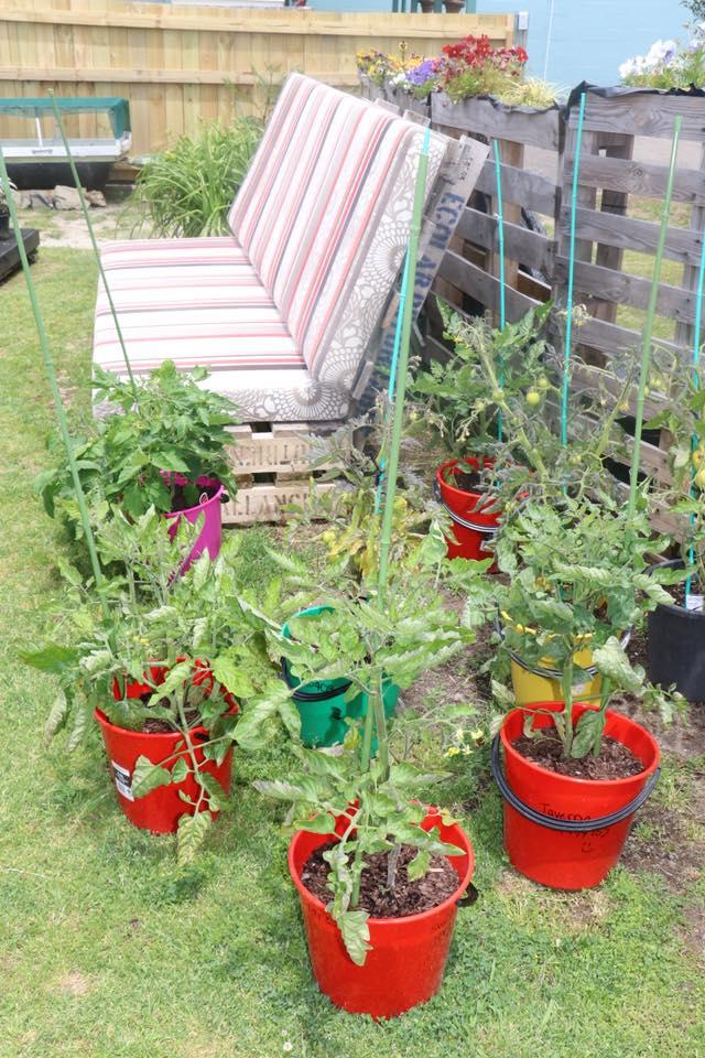 tomato_plants.jpg