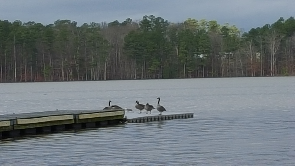 The geese have dry feet while the rowers have to wet-launch