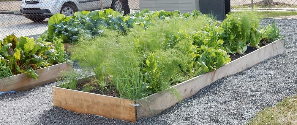 FLAIM garden, planted 11/16/15. Photo taken at FLAIM Work Day 1/15/16