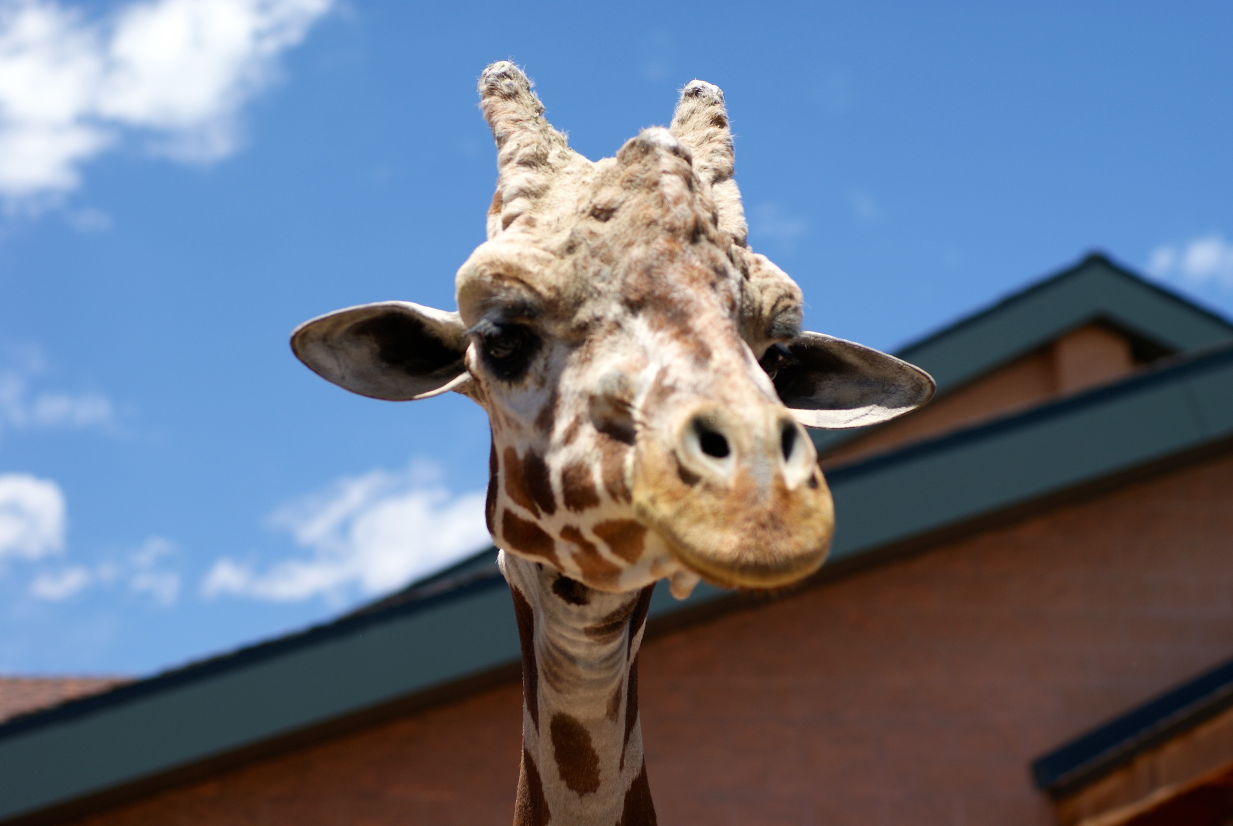 It's not a camel.  But it's the only picture I had close enough. We fed Giraffes at the zoo.  This one wanted it's picture taken.