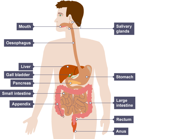 Key players in the digestive process. Thanks to BBC for the image.