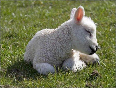 bummer_lamb.jpg